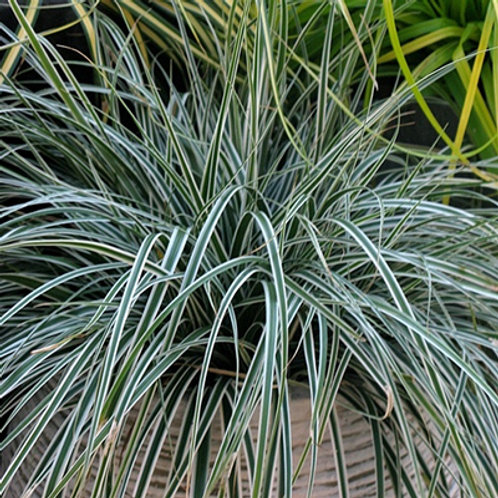 Carex Morrowii (Japanese Sedge)'Silk Tassle'