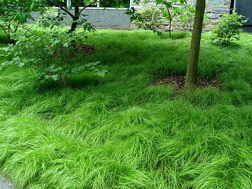 Carex (Sedge grass) Pennsylvania'