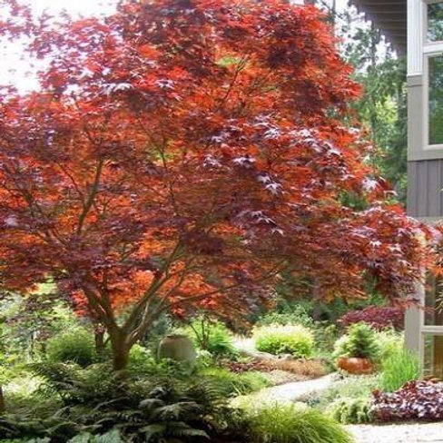full sun part shade red purple burgundy maple acer japanese palmatum deciduous ornamental