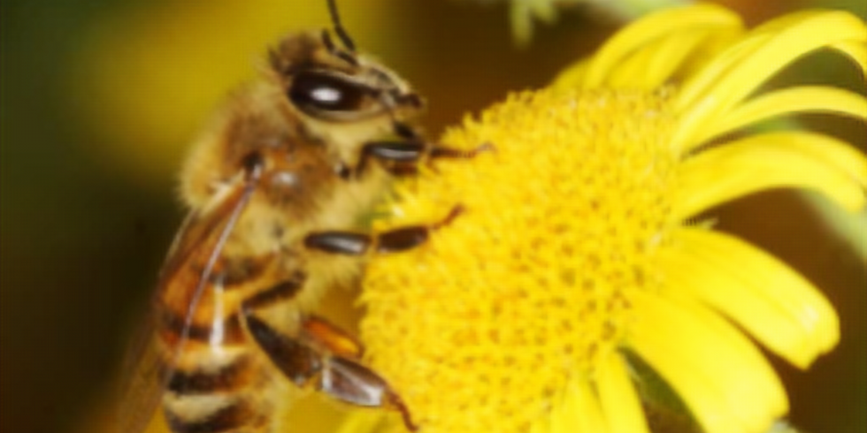 Pollinator Lecture Series: Bees!