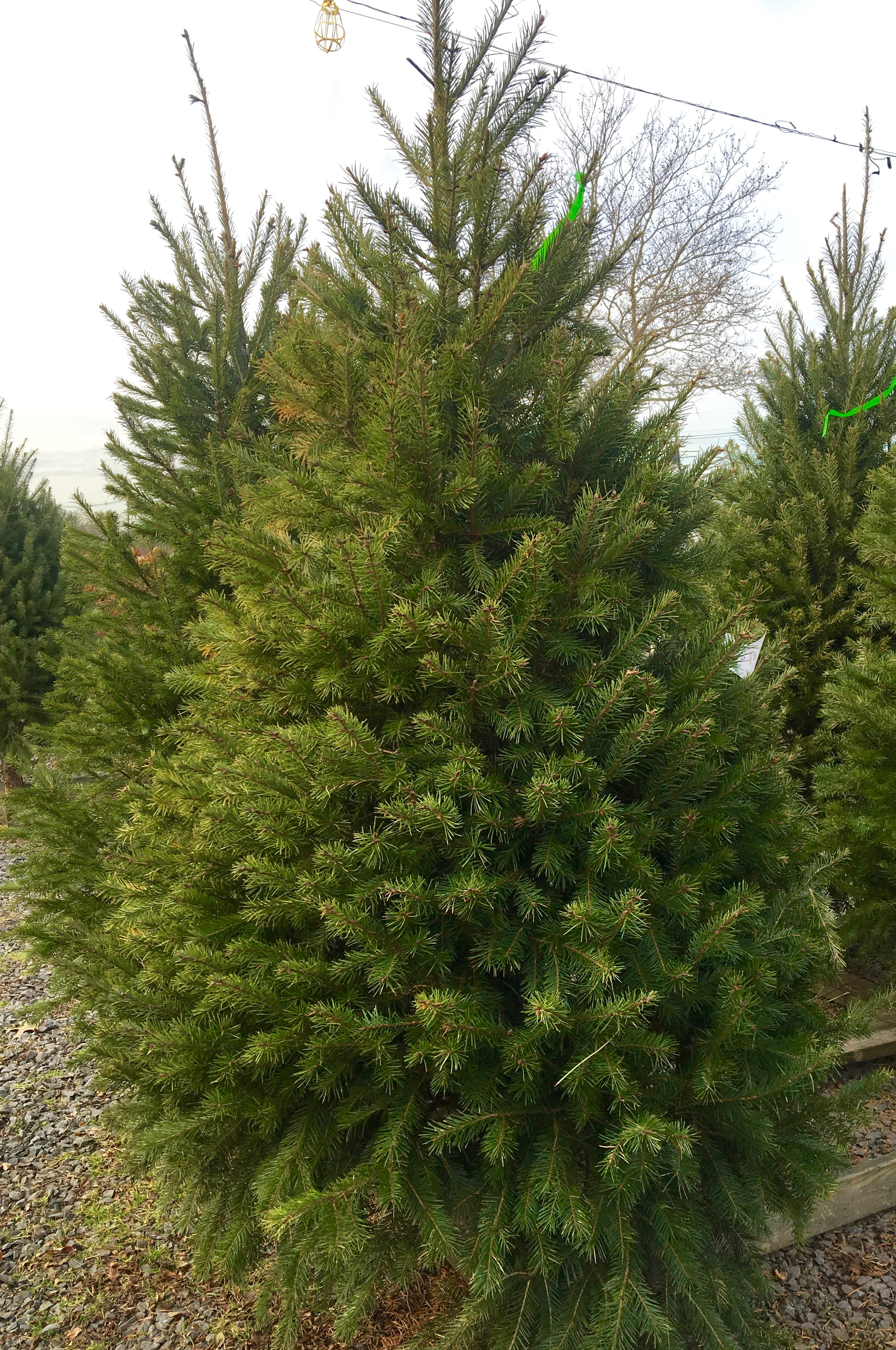 douglass firr tree