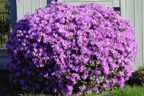 PJM Rhododendron 'Purple Gem'