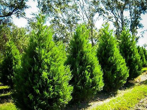 Leyland Cypress (Cupressocyparis Leylandii)