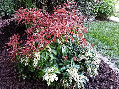 Pieris Japonica (Andromeda) 'Red Mill'