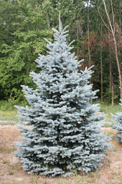 Picea Pungens (Baby Blue Spruce) 'Blue Is Cool'
