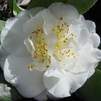 Camellia Japonica (Camellia) 'Victory White'