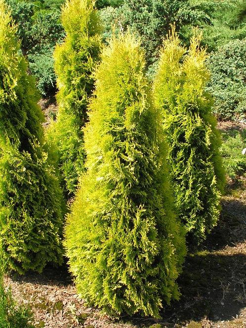 Thuja Plicata (Arborvitae) 'Forever Goldy'