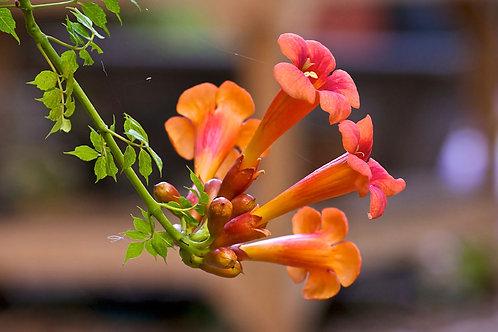 'Orange' Trumpet Vine