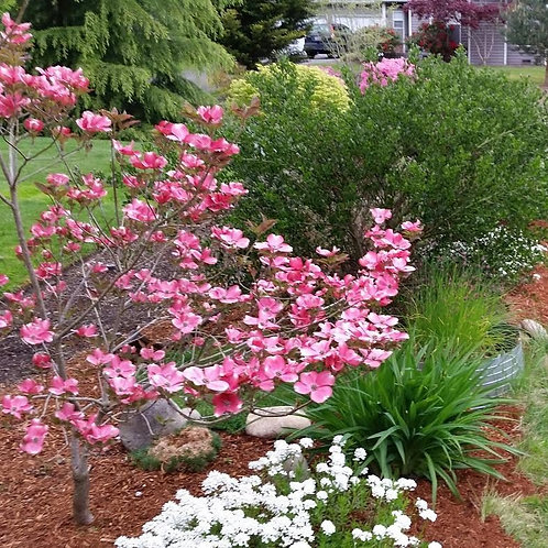 cornus florida red pygmy dogwood deciduous ornamental pink red flowers deer resistance