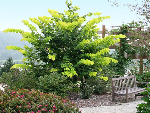 Cercis Canadensis (Redbud)  'Hearts of Gold'