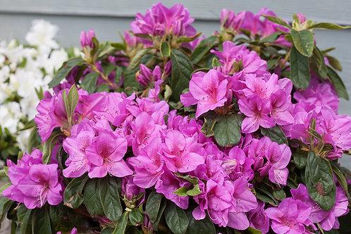 Azalea Bloom-a-Thon 'Lavender'