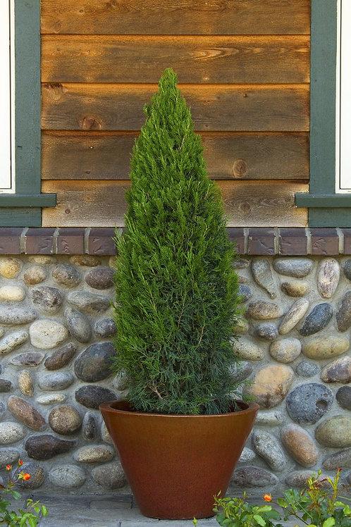 Juniperus Chinensis (Juniper) 'Blue Point'
