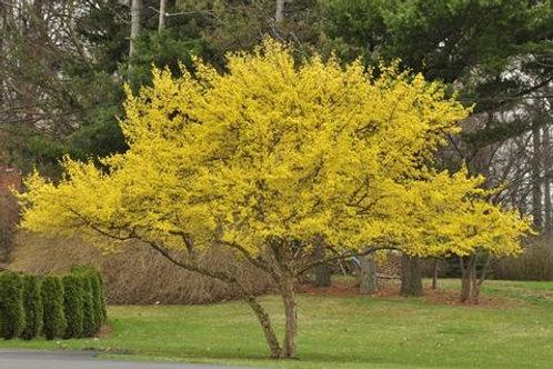 cornus mas dogwood cornelian cherry yellow flowers flowering deciduous ornamental