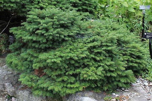 Picea Abies (Bird's Nest Spruce)