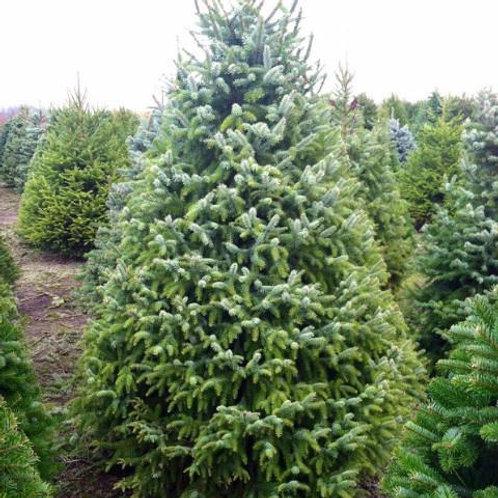 Serbian Spruce (Picea Omorika)
