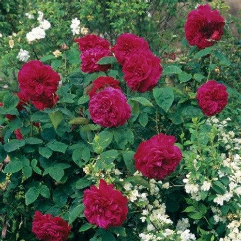 david austin rose ld braithwaite deep red wine red