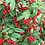 Thumbnail: Weeping Cotoneaster (Hybridus Pendulous)