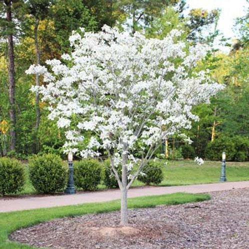 cornus florida white dogwood flowers flowering ornamental deciduous deer resistant