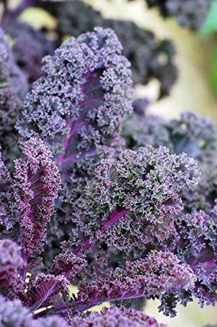 'Scarlet Bor' Kale