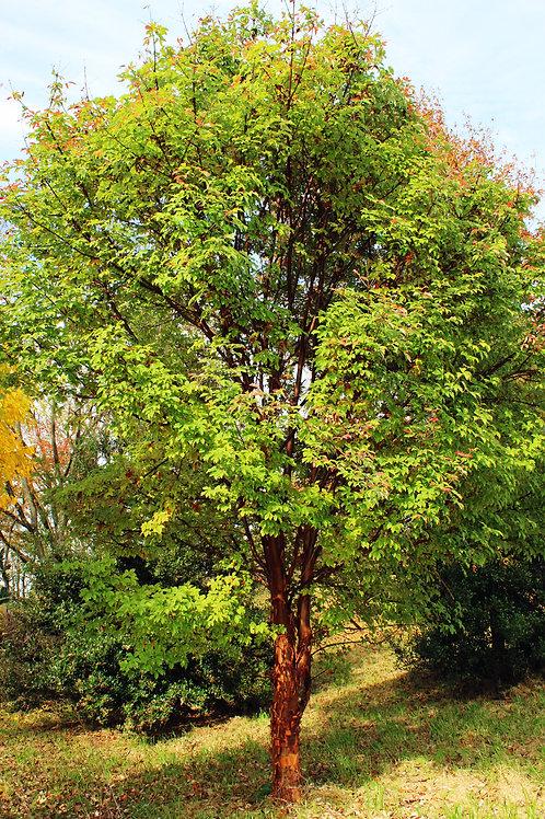 Acer Griseum (Paperback Maple)