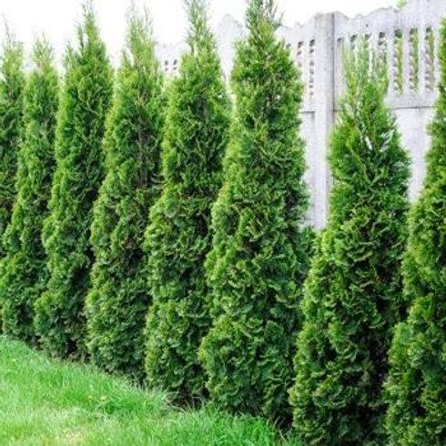 Thuja Occidentalis (Arborvitae) 'Emerald Green'
