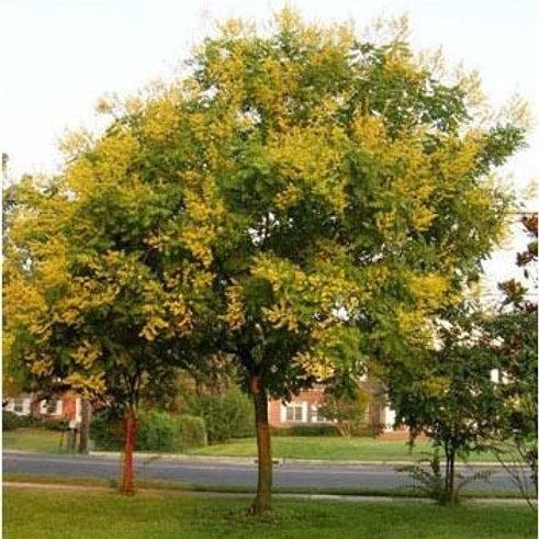 koelreuteria paniculata panicled goldenrain tree golden rain shade deciduous lanterns yellow