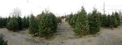 christmas tree selection 5