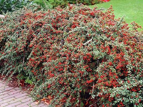 Cotoneaster Apiculatus (Cotoneaster) 'Cranberry'