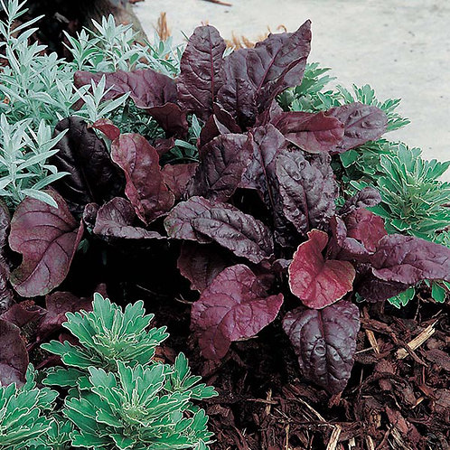 'Bull's Blood' Beets