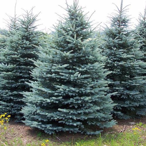 Colorado Spruce (Picea Pungens)