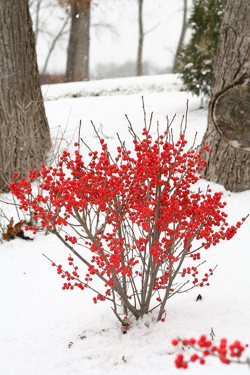 Ilex Verticiallata 'Winter Red' Winterberry