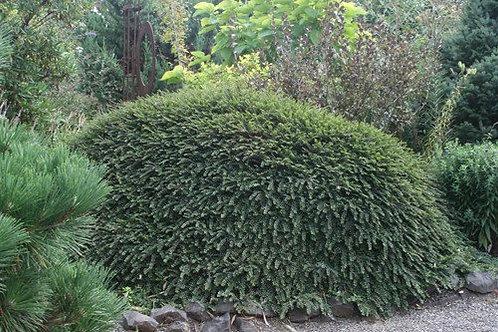 Cotoneaster Adpressus (Cotoneaster) 'Little Gem'
