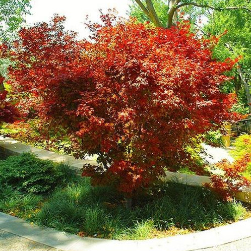 acer palmatum japanese maple ruslyn pink red yellow deciduous