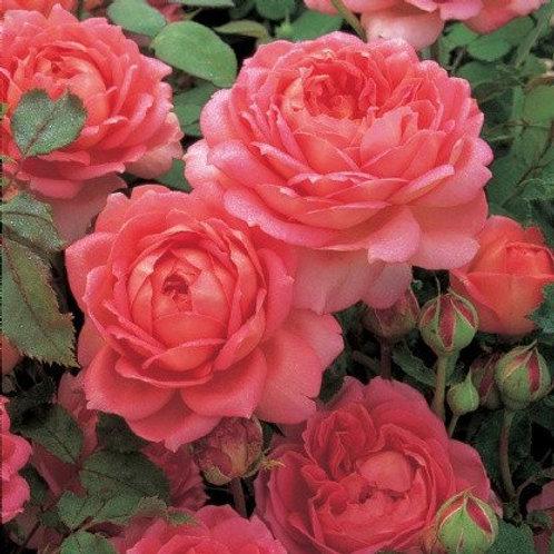 rose david austin jubilee celebration pink