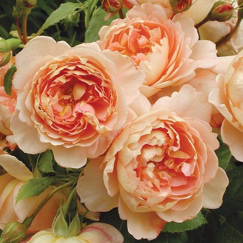 rose david austin carding mill light pink salmon orange