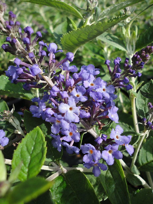 Buddleia Flutterby Petite 'Blue Heaven' Butterfly Bush