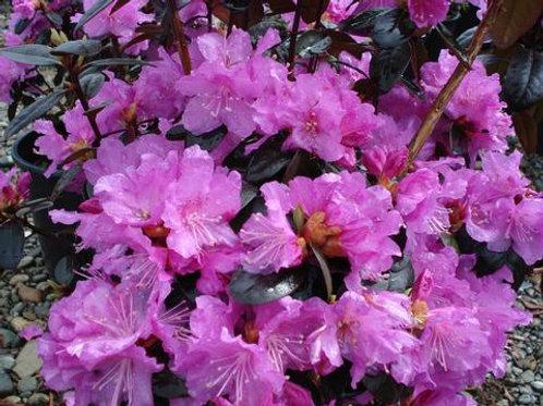 PJM Rhododendron 'Elite'