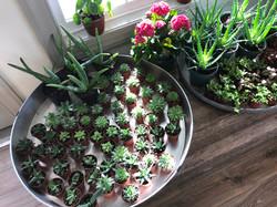 mini succulents- chester