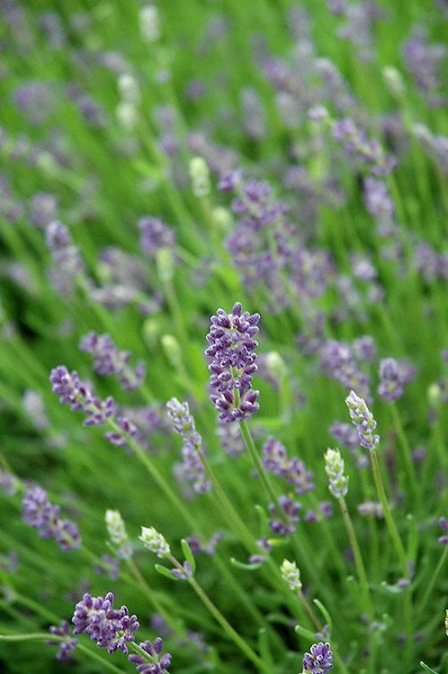 Lavender 'Essence Purple'
