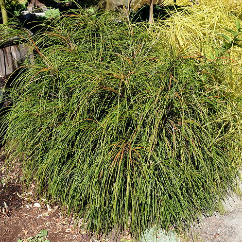 Thuja Plicata (Red Cedar) 'Whipcord'