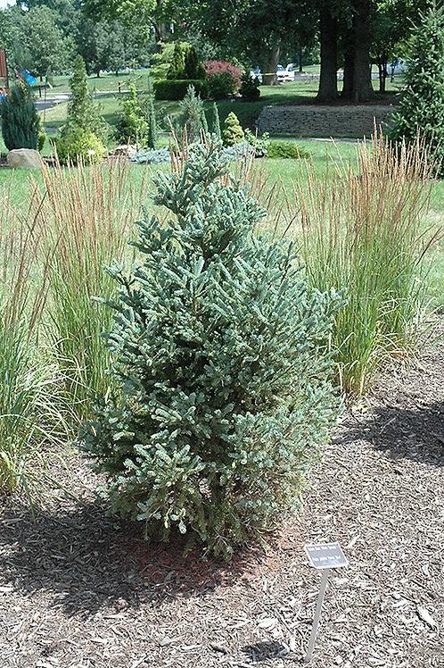 Picea Glauca (Spruce) 'Yukon Blue White'