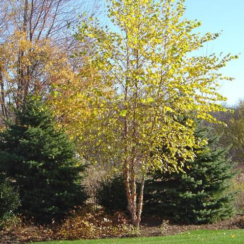 betula nigra birch dura-heat duraheat dura heat bark deciduous
