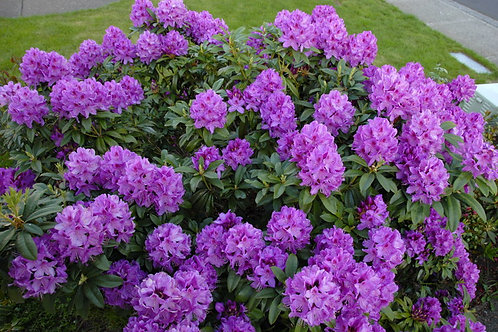 Rhododendron 'Anah Kruschke'