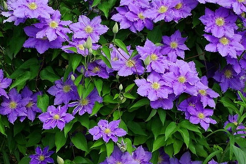 'Will Goodwin' Clematis