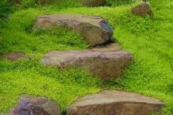 Sagina 'Scotch Moss'