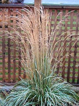 Reed Grass (Phragmites) 'Avalanche'