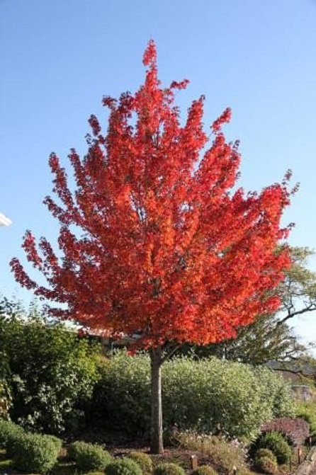 deciduous acer rubrum maple red pointe point redpointe shade full sun