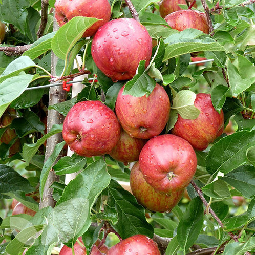 Apple Tree 'Royal Gala'