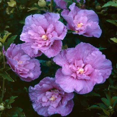 Hibiscus Syriacus Rose Of Sharon Lavender Chiffon