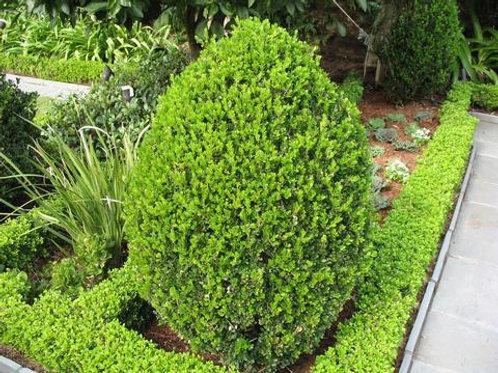Buxus (Boxwood) 'Wintergreen Boxwood'